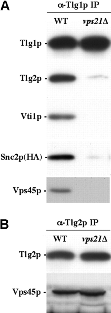 Vps45p binds to Tlg2p in isolation from its SNARE binding partners. (A) Tlg1p- and (B) Tlg2p-containing complexes were immunoprecipitated from the wild-type (WT) (NOzY21) or vps21Δ (NOzY24) cells. Immunoblot analysis was used to detect the amount of Tlg1p, Tlg2p, Vti1p, HA-tagged Snc2p, and Vps45p in the immunoprecipitated complexes as indicated.