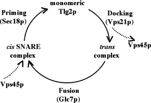 Model for the interaction of Vps45p with Tlg2p during SNARE complex assembly–disassembly. Model depicting the association and dissociation of Vps45p with membranes at different stages of the SNARE assembly–disassembly cycle. The cycle begins with the t-SNARE/SM heterodimer (Tlg2p/Vps45p), which precedes the docking reaction involving the Rab protein Vps21p. Docking results in the formation of a trans-SNARE complex involving the v-SNARE on the transport vesicle and the t-SNAREs in the target membrane. The SNARE complex is found in a cis-configuration following merging of the two lipid bilayers during the fusion reaction (involving the protein phosphatase, Glc7p), and is subsequently disassembled by the ATPase, Sec18p. Vps45p dissociates from membranes either before or during formation of the trans-complex in concert with the action of the Rab protein and/or the phosphatase and then rebinds to the cis-SNARE complex.