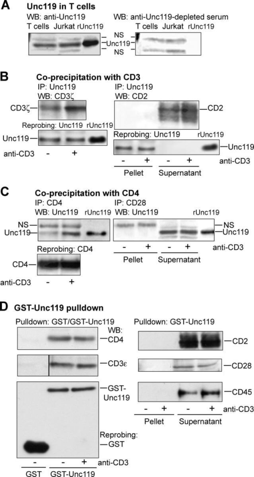 Unc119 interacts with the TCR complex. (A) Unc119 is expressed in human primary T cells and the Jurkat T cell line. Cell lysates were Western blotted with anti-Unc119 (left) or anti-Unc119 antibody–depleted (right) serum. Recombinant Unc119 (rUnc119) was electrophoresed to mark its position. NS, nonspecific band. (B) Unc119 specifically coprecipitates with CD3 in T cells. Human primary T cells were incubated with (+) or without (−) anti-CD3 and lysed. As a control, the anti-CD3 antibody was added to unstimulated sample after lysis. Lysates were immunoprecipitated (IP) with anti-Unc119 and Western blotted with antibodies against indicated molecules. The membranes were reprobed with anti-Unc119 to demonstrate equal protein loading (bottom). (Pellet) Immunoprecipitated proteins. (Supernatant) Cell lysate after removal of immunoprecipitated proteins. (C) Unc119 coprecipitates with CD4 in T cells. T cells, prepared as in B, were immunoprecipitated (IP) with indicated antibodies. Pellets and/or supernatants (B) were Western blotted with anti-Unc119. The membrane (left) was reprobed with anti-CD4. (D) GST-Unc119 interacts with CD3 and CD4. T cells, prepared as in B, were subjected to GST or GST-Unc119 pulldown. Pellets and/or supernatants (B) were Western blotted with antibodies against indicated molecules. Membranes from all experiments were reprobed with an anti-GST antibody. A representative blot is shown (bottom left).