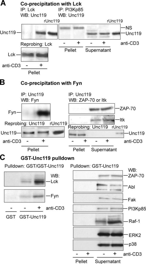 Unc119 specifically interacts with Lck and Fyn. (A) Unc119 specifically interacts with Lck in T cells. T cells were prepared as in Fig. 1 B, immunoprecipitated (IP) with indicated antibodies. Pellets and/or supernatants (see Fig. 1 B) were Western blotted with anti-Unc119 antibody and reprobed with anti-Lck. NS, nonspecific band. (B) Unc119 interacts with Fyn in T cells. T cells were prepared as in Fig. 1 B and immunoprecipitated (IP) with anti-Unc119. Pellets and/or supernatants (Fig. 1 B) were Western blotted with antibodies against indicated proteins and reprobed with anti-Unc119 (bottom). (C) GST-Unc119 interacts with Lck and Fyn. Cells lysates, prepared as aforementioned, were precipitated with GST or GST-Unc119. Pellets and/or supernatants were Western blotted with antibodies against indicated proteins.