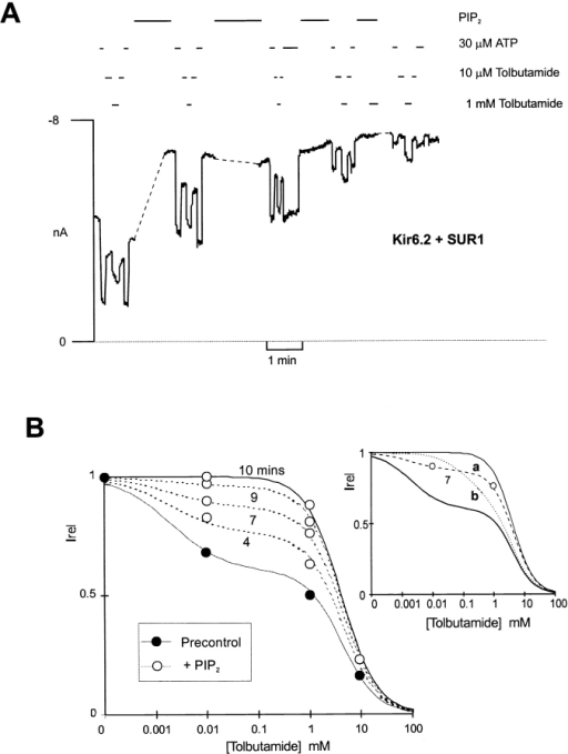 Mechanism of the PIP2-induced loss of tolbutamide block. (A) Representative current recorded from inside-out membrane patches containing wild-type KATP channels exposed to differing [tolbutamide] or 30 μM ATP, as shown. The gaps in the record are 4.5, 2, and 1 min. The dashed line indicates zero current (determined in 5 mM ATP). (B) Plot of relative current (Irel) versus [tolbutamide] for trace segments shown in A, both before (•) and with time after (○) Pip2 application. Data at 10 mM tolbutamide are from control and 10-min time points. Fitted lines correspond to a least squares fit of the sum of two Hill equations as described in Fig. 1with the fraction of high affinity inhibition allowed to vary (37, 23, 13, 4, 0% at 0, 4.5, 7, 8 and 10 min) as indicated, after PIP2 application. The insert shows data only at 7 min. The dashed lines correspond to (A, dashed) the same curve as above, and (B, dotted) a least squares fit of the sum of two Hill equations, with the fraction of high affinity inhibition held constant at 37%, but with the affinity (i.e., K1/2) allowed to vary. It is clear that high affinity block disappears because the high affinity fraction disappears, not because there is a change in the sensitivity of this component.