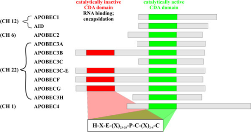 Functions and Regulation of the APOBEC Family of Proteins