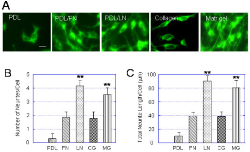 Neurite outgrowth of hESC-derived neurons are greater on PDL/laminin and matrigel substrates than other substrates. Light EBs were cultured on 5 different substrates: PDL, PDL/laminin, PDL/fibronectin, collagen and Matrigel for 3 days in the NDM and immunostained for TuJ1. (A) A panel of immunofluorescent images showing representative fields of TuJ1+ cells expanded on PDL, PDL/fibronectin (PDL/FN), PDL/laminin (PDL/LN), collagen and Matrigel for 3 days. (B, C) Bar plots summarizing the effect of different substrates on number of neuritis (B) and total neurite length (C) per cell. The laminin (LN)- and matrigel (MG)-induced number of neuritis and total neurite length per cell are significantly higher than on PDL, fibronectin (FN), and collagen (CG). Values are expressed as mean ± SEM of 4 independent experiments. Statistical differences for number of neuritis and for total neurite length per cell between LM or MG and PDL or FN or CG are significant ** p < 0.01. Scale bar in (A) = 30 μm.