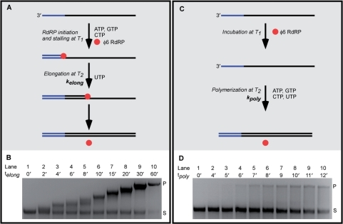 A reinitiated φ6 RdRP elongation complex (φ6EC) and randomly-initiated φ6 RdRP replication show distinct electrophoretic profiles on agarose gels. (A) Schematic of stalling and reinitiation of φ6EC. In the presence of three NTPs (ATP, GTP, CTP), a φ6EC is stalled at the 50th nt from the 3′-end of the template at temperature T1. The sequence elongated prior to stalling is shown in blue. After UTP addition, the stalled φ6EC reinitiates and synthesizes the complementary strand at temperature T2. (B) Agarose gel of the elongation intermediates after reinitiation of the stalled φ6EC on 4 kb ssRNA template. Aliquots were taken at different times after reinitiation (telong). Letters S and P indicate 4 kb ssRNA and 4 kb dsRNA, respectively. (C) Schematic of a randomly-initiated φ6 RdRP replication. 4 kb ssRNA was incubated with φ6 RdRP, and all four NTPs were subsequently added simultaneously. (D) Agarose gel of aliquots of randomly-initiated φ6 RdRP replication taken at different polymerization times (tpoly).