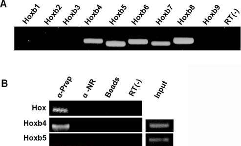 Hoxb cluster expression in oocytes and associated granulosa cells (OGC) and Hoxb mRNA immunoprecipitation by anti-Prep1 antibodies.(A) Expression of Hoxb genes in OGC cells by RT-PCR analysis. Notice that 5 different Hoxb genes (Hoxb4–8) are expressed. (B) Extracts from crosslinked ovarian cells (see Materials and Methods) were immunoprecipitated with anti-Prep1 or not related (NR) antibodies. The RNA was extracted and subjected to RT-PCR with degenerated Antennapedia primers (upper part), which amplified Hox messengers (HoxA and B clusters). After cloning and sequencing of the amplicons, Hoxb4 was highly represented among the amplicons. Then, specific Hoxb4 primers were used to confirm the previous result (middle part), amplifying Hoxb4 mRNA from the OGC co-immunoprecipitated RNA. Notice that specific primers for Hoxb5, which is expressed in OGC but was not identified among the Hox amplicons, is not amplified from the OGC co-immunoprecipitated RNA (lower part).
