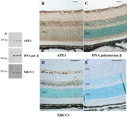 Expression of BER mRNA and proteins in the adult mouse retina. A: Semiquantitative RT–PCR experiments were performed to determine the APE1, DNA polymerase β (DNA pol β), and XRCC1 mRNA levels of expression in C57BL/6 mouse neuroretinal cells. Cyclophilin A (Cyclo) was used as an internal control. Specific primers for amplifying mouse APE1, DNA pol β, XRCC1, and Cyclophilin A cDNAs were used. The expected size for each specific amplified product was obtained: 446 bp for APE1, 693 bp for DNA pol β, 418 bp for XRCC1, 311 bp for Cyclophilin A. Immunohistological localization of APE1, DNA polymerase β, and XRCC1 in the adult mouse retina was performed using an antibody raised against APE1 (B), DNA pol β (C) or XRCC1 (D). The staining appears in brown. Sections were counterstained with a methyl green solution. No signal was detected when the specific anti-APE1 antibody was omitted (E). APE1 and DNA polymerase β were detected in the ganglion cell layer (GCL), the inner nuclear layer (INL), and the photoreceptor inner segments (IS). Labeling was also observed in the INL and outer plexiform layers (ONL). Surprisingly, XRCC1 was not detected in the IS. Scale bar equals 50 μm in B, C, and E, and 10 µm in D.