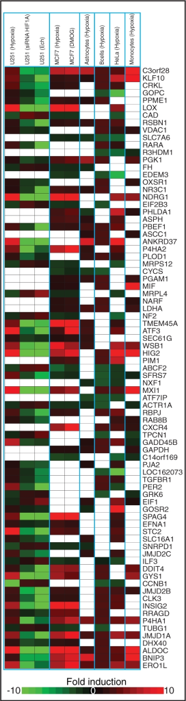 HIF dependent response to hypoxia across six cell types for 81 selected genes that respond to hypoxia in at least three cell types and were ranked within the top 200 HIF-target genes. The heatmap shows a fold induction compared to normoxia within each cell type. White blocks indicate the gene did not respond to hypoxia in that cell type.