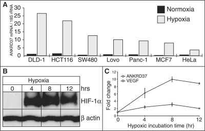 ANKRD37 response to hypoxia. (A) ANKRD37 mRNA levels were monitored by qPCR across seven cell lines and normalized to 18S rRNA. (B, C) ANKRD37 hypoxic induction over time during hypoxia. (B) Endogenous HIF1A protein levels determined after 0, 4, 8 and 12 h of hypoxic incubation by western blot. (C) mRNA levels of ANKRD37 and VEGFA measured by qPCR after 0, 4, 8 and 12 h of hypoxic incubation.