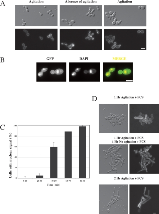 C. albicans Rac1 accumulates in the nucleus.(A) Intracellular accumulation of GFP-Rac1 in the absence of cell agitation. DIC and fluorescence images of rac1Δ/rac1Δ PADH1GFPRAC1 (PY205) cells from shaking cultures, after 1 h without agitation, followed by 1 h of shaking. Bar, 5 µm. (B) Rac1 accumulates in the nucleus in the absence of cells agitation. Intracellular GFP-Rac1 co-localizes with 4′,6-diamidino-2-phenylindole (DAPI). (C) Time-course of Rac1 nuclear accumulation. Cells with nuclear fluorescent signal were counted after the indicated times in the absence of agitation. The average of four experiments is shown with approximately 50 cells counted at each time point in each experiment (bars indicate standard deviation). (D) Rac1 accumulates in the nucleus of serum-induced hyphal cells. Hyphal growth in PY205 cells was induced in rich (YEPD) liquid media containing 50% FCS, for the indicated times, in the presence or the absence of agitation at 37°C.