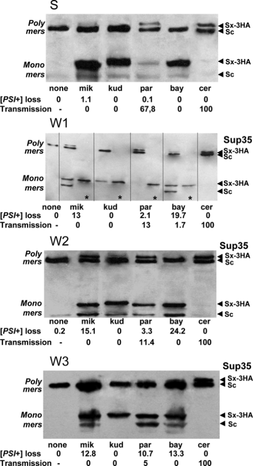 Electrophoretic analysis of co-polymerization of hybrid                                        Sup35 proteins. Yeast cells with the indicated                                        [PSI+]                                    variants were transformed with centromeric plasmids producing                                    hybrid Sup35-3-HA proteins. Cell lysates were loaded onto gels                                    without boiling and run for half a distance. The whole gels were                                    then boiled, and the electrophoretic separation was continued.                                    The gels were blotted, and the blots were stained with antibody                                    to the Sup35-cer N-terminal and middle domains.                                        Sx-3HA, hybrid Sup35-3-HA proteins;                                        Sc, Sup35-cer lacking the tag. For ease of                                    comparison, the values for                                        [PSI+] loss                                    and transmission are given below the gels. The W1                                        panel also shows lysates of the cells having lost                                    the plasmid encoding Sup35-cer (asterisk).