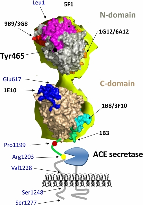 Epitope mapping of human sACE using EM-based model.Model of human sACE was generated using an EM-based model of porcine sACE [49]. Epitopes localization (colored spots) were taken from the following publications [40], [51]–[55].. Relevant amino acid residues in the ectodomain and juxtamembrane region of ACE and a cartoon of the membrane-bound ACE secretase are indicated: Leu1 and Asp616-N terminal residues of the N- and C-domains, respectively; Pro1193 –the last amino acid residues seen in the 3D structure of C domain; Pro1199 – localization of P1199L mutation causing 5-fold increase in blood ACE levels [32]; Arg1203-C-terminal amino acid residue of soluble ACE [23]; Val1228-Ser1248-transmembrane domain [65]; Ser1277-C-terminal amino acid residue of full-length somatic ACE [17].