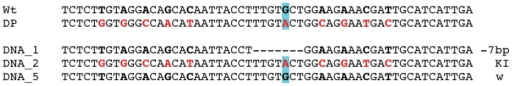 Founder KI female 3.4 genotyping from subcloned PCR amplicons of tail biopsies.Wt: Wild type; DP: donor plasmid. Point mutations in the DP are indicated in red bold letters. The pA476T mutation is highlighted in blue.