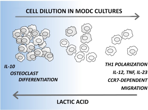 Figure 1. Rewiring dendritic cell differentiation upon the accumulation of lactic acid. Monocyte-derived dendritic cells (DCs) developing in sparse monocytic cultures show a superior ability to produce pro-inflammatory cytokines, to elicit TH1 responses and to migrate toward the lymphoid tissue-derived chemotactic agent chemokine (C-C motif) ligand 19 (CCL19). On the contrary, DCs differentiating in dense cultures produce interleukin (IL)-10 but no pro-inflammatory cytokines upon activation. In addition, DCs originating in dense cultures maintain a relatively high plasticity and can trans-differentiate to osteoclasts. A key role for lactic acid in rewiring DC functions was demonstrated by interfering with lactic acid production in dense cultures, which increased IL-12 and decreased IL-10 production, and by adding lactic acid to sparse cultures, which resulted in opposite effects. CCR7, chemokine (C-C motif) receptor 7; TNFα, tumor necrosis factor α.