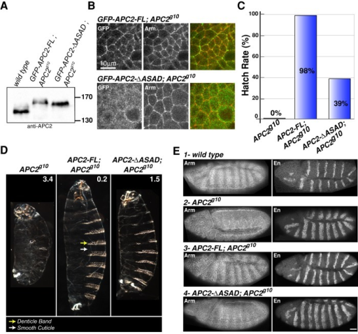 APC2 self-association is required to negatively regulate Wnt signaling in the Drosophila embryo. (A) Immunoblot of 0- to 6-h embryonic lysates demonstrates that the level of expression of GFP-APC2-FL and GFP-APC2-ΔASAD is comparable to that of endogenous APC2. (B) GFP-APC2-FL is enriched at the cell cortex with Arm in embryonic epithelia, whereas GFP-APC2-ΔASAD is primarily cytoplasmic. Scale bar, 10 μm. (C, D) Expression of GFP-APC2-FL rescued the lethality of APC2- (APC2g10) embryos and restored the wild- type cuticle phenotype, whereas the APC2-ΔASAD mutant only moderately rescued the lethality and cuticle phenotype. The numbers in D indicate the phenotypic average for each genotype (scoring criteria as in McCartney et al., 2006). Cuticle images are shown at the same scale. (E) Representative embryos showing Arm and En protein expression in wild-type (1) and APC2- (2) embryos. APC2-FL restored wild-type Arm levels and the En expression domain of APC2- (APC2g10) embryos. APC2-ΔASAD weakly suppressed Arm accumulation and restored a weak Arm stripe pattern in the epidermis. The En expression domain remains expanded in APC2- embryos expressing APC2-ΔASAD. Scale bar, 25 μm.