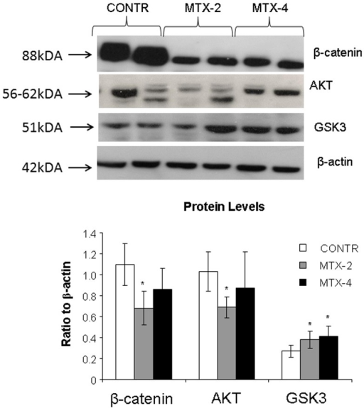 Changes in intestinal mucosal β-catenin, Akt 1/2/3, GSK3 protein levels following methotrexate induced intestinal damage.Values are mean ± SEM. CONTR- control, MTX-methotrexate. * P<0.05 MTX-2 and MTX-4 vs CONTR rats, † P<0.05 MTX-4 vs MTX-2 rats.