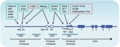 Genomic structure and transcriptional regulation of the mouseOct4gene. The diagram represents ~24 kb of the genomic region surrounding the Oct4 gene [62]. The gene has five exons, depicted as blue boxes. The identified upstream regulatory regions include the promoter, proximal enhancer, and distal enhancer. The sizes of the regulatory elements are stretched to enhance clarity. The transcription factors bind to these regions, and are shown above within colored boxes; they either activate (green box) or repress (red box) transcription. HRE = hormone responsive element; Sp1 = GC-rich site recognized by the Sp1/Sp3 family of transcription factors. CR1, CR2, CR3, and CR4 are conserved regions (CRs) at the 5' upstream region of the Oct4 gene.