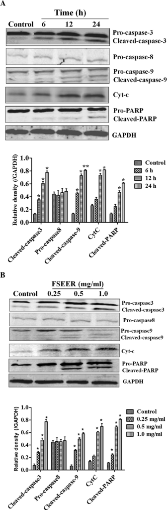 Western blot analysis of TE-13 cells treated with FSEER. The TE-13 cells were treated with (A) FSEER at various concentrations for 24 h and (B) 0.5 mg/ml FSEER for 6, 12 and 24 h. Cleaved caspase-3, caspase-9 and PARP were activated and Cyt-c in the cytosolic fraction increased in a dose- and time-dependent manner. *P<0.05, **P<0.01, compared with the control group. FSEER, Forsythia suspensa ethanolic extract of the root; Cyt-c, cytochrome c; PARP, poly(ADP ribose) polymerase.