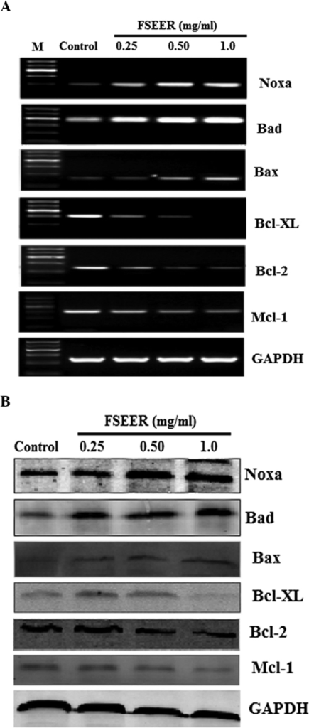 Reverse transcription quantitative polymerase chain reaction and western blot analysis of the protein expression of the Bcl2 family. TE-13 cells were treated with FSEER (0.25, 0.5 and 1.0 mg/ml) for 48 h and the (A) mRNA and (B) protein expression levels of Bcl-2, Bcl-xL, Mcl-1, Bax, Bad and Noxa were examined. FSEER, Forsythia suspensa ethanolic extract of the root; Bcl-2, B-cell lymphoma 2; Bcl-Xl, Bcl-extra large; Mcl-1, myeloid cell leukemia 1; Bax, Bcl-2-associated X protein; Bad; Bcl-2-associated death promoter; Noxa, phorbol-12-myristate-13-acetate-induced protein 1.