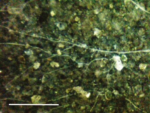 Belowground image (3.01 × 2.26 mm2) of arbuscular mycorrhizal fungal hyphae captured with the Soil Ecosystem Observatory (SEO). The SEO was installed in a mixed conifer forest at the James San Jacinto Mountains Reserve, which operates as a field site for the Center for Embedded Networked Sensing (Idyllwild, CA, USA). The image was taken at × 100 magnification; bar, 1 mm.