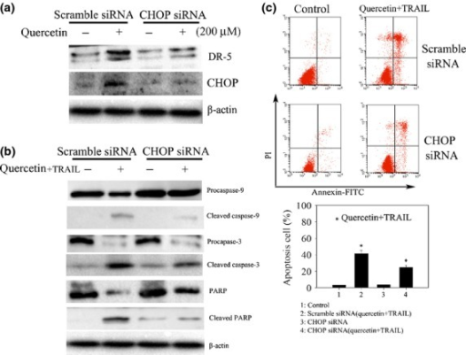 CCAAT enhancer-binding protein homologous protein (CHOP) plays a crucial role in enhancing apoptotic effect of quercetin in SKOV-3 cells treated with tumor necrosis factor-related apoptosis-inducing ligand (TRAIL). (a) Knockdown of CHOP with siRNA represses DR5 expression in SKOV-3 cells. Scrambled siRNA and CHOP siRNA were transfected into the cells followed by quercetin treatment for 24 h. Total cell lysates were subjected to Western blot analysis with specific antibodies to CHOP and DR5. (b) Western blotting analysis for the detection of caspase-3 and 9 activation and PARP cleavage. Cells treated with siRNA as in (a) were further challenged with quercetin (200 μM) and TRAIL (25 ng/mL) for 24 h and were lysed to be subjected to Western blot with the respective antibodies. (c) Flow cytometric analysis. Cells treated as in (b) were stained for the determination of annexin V/PI positive populations using flow cytometry. *P < 0.05 when compared to control.