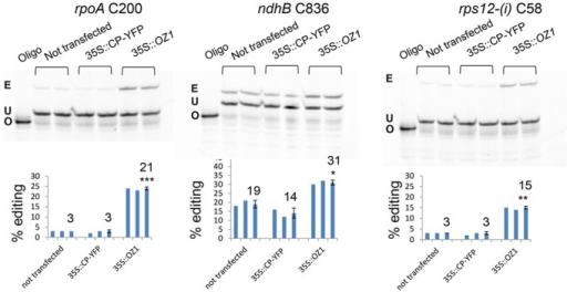 Transient expression of OZ1 under a 35S promoter in oz1–1 mutant protoplasts complements the editing defects.Two repeats of each treatment were assayed by PPE. The average for each group is displayed in a third bar. Not transfected: untreated oz1–1 mutant protoplasts. 35S::CP-YFP: oz1–1 protoplasts transfected with 35S::cpYFP. 35S::OZ1: oz1–1 protoplasts transfected with 35S::OZ1. E, edited band; U, unedited band; O, oligonucleotide. Significance * (P<0.05), ** (P<0.01), *** (P<0.001).