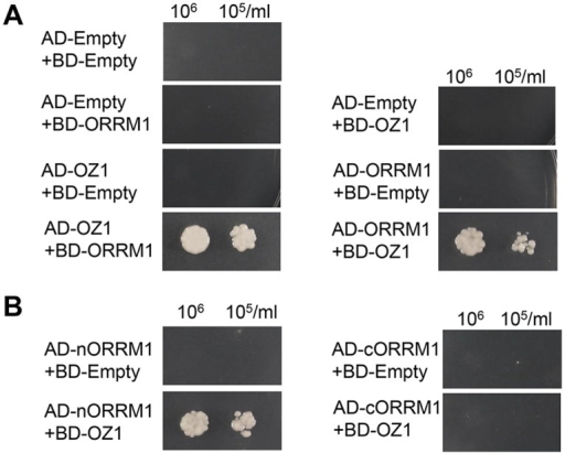 Yeast two-hybrid assay of interaction of ORRM1 and OZ1.(A) OZ1 interacts with ORRM1 in the yeast two-hybrid assays. (B) N-terminus of ORRM1 mediates the interaction with OZ1. AD-Empty, pGADT7 empty vector. BD-Empty, pGBKT7 empty vector. Yeast single transformants were mated to make double transformants in order to test interactions. Yeast were grown in-leucine-tryptophan double-dropout media overnight before they were harvested and diluted into cell density 106/ml and 105/ml. 10μl of each dilution was spotted onto the-leucine-tryptophan—histidine—adenine quadruple dropout plates. Pictures were taken 3 days after inoculation. nORRM1: amino acids 55–274 ORRM1, which contains the RIP-RIP domain. cORRM1: amino acids 275–374 of ORRM1, which contains the RRM domain.