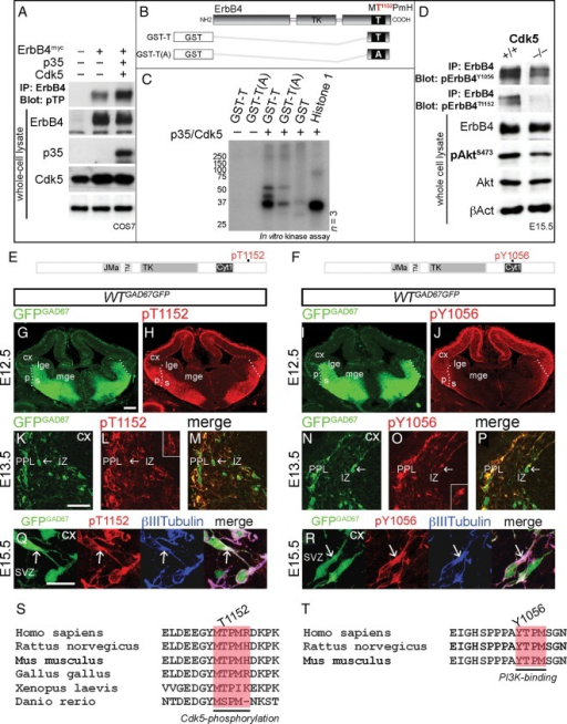 p35/Cdk5 phosphorylation of ErbB4 in vitro and in vivo. (A) Immunoprecipitation (IP) of ErbB4myc from COS7 cell protein lysates; COS7 cells were co-transfected with ErbB4myc, p35, and Cdk5. Immunoblots of ErbB4 IP protein extracts, revealing p35/Cdk5 phosphorylation of ErbB4 on threonine adjacent to proline (pTP; first and second lanes vs. third lane). Immunoblots of whole-cell protein lysates indicate expression of ErbB4, p35, and Cdk5. βAct serves as a loading control. (B) Schematic, illustrating GST-fusion ErbB4 fragments used in a kinase assay. (C) Kinase assay, showing phosphorylation of ErbB4 on T1152 by p35/Cdk5. GST and histone 1 serve as negative and positive controls, respectively. (D) IP of ErbB4. Immunoblots of ErbB4 IP protein extracts and whole-cell protein lysates from the Cx of E15.5 mice, revealing decreased phosphorylation of ErbB4T1152, ErbB4Y1056, and AktS473 in the Cdk5 KOs compared with littermate controls. ErbB4, Akt, and βAct serve as loading controls. (E, F) Schematic diagrams of ErbB4, showing Cdk5-targeted (T1152; E) and PI3-kinase-binding (Y1056; F) phosphorylation sites recognized by pErbB4T1152 and pErbB4Y1056 antibodies, respectively. (G–R) Forebrain sections of a GAD67GFP mouse embryo, at the indicated time points, immunostained for pErbB4T1152 and pErbB4Y1056 (red). GFPGAD67(+) cells (green) represent GABAergic interneurons. (G–J) Dotted lines indicate the border between the pallium (p) and the subpallium (s). (K–P) show pErbB4T1152 and pErbB4Y1056 in a subset of cortical interneurons (arrows). Higher magnifications are shown in the insets. (Q) and (R) show that pErbB4T1152 and pErbB4Y1056 co-localize with β-III-tubulin (blue) in the proximal leading process (arrows) of cortical interneurons. (S,T) Cdk5-phosphorylation and PI3K-binding sites in ErbB4 are well conserved across species. Bars, 200 μm (F–I), 50 μm (J–O), 20 μm (P,Q). A, alanine; GST, glutathione S-transferase; SVZ, subventricular zone; Y, tyrosine.