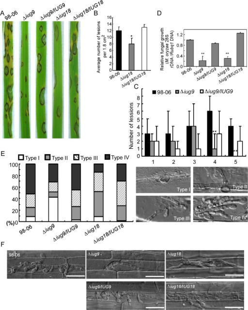IUG9 and IUG18 are involved in pathogenicity of M. oryzae.(A) Disease symptoms were reduced on rice leaves inoculated with Δiug9 and Δiug18 mutants. Conidial suspension (5 x 104 spores/ml) of the wild-type strain 98–06, mutants and complemented strains were inoculated on rice (cv. LTH), and incubated for 7 days. (B) Bar chart of mean lesion density of seedlings infected with isolate 98–06 and the Δiug18 mutant per unit area. Mean lesion density was significantly reduced in Δiug18 mutant infections. Error bars represent the standard deviation and asterisks represent significant differences (P<0.01). (C) Quantification of lesion types (0, no lesion; 1, pinhead-sized brown specks; 2, 1.5-mm brown spots; 3, 2–3-mm grey spots with brown margins; 4, many elliptical grey spots longer than 3 mm; 5, coalesced lesions infecting 50% or more of the leaf area) reveals no difference in lesion types 1–3; however, the Δiug9 mutant make rarely lesions of types 4 and 5. Lesions were photographed and measured or scored at 7 days post-inoculation (dpi) and experiments were repeated twice with similar results. (D) Severity of blast disease was evaluated by quantifying M. oryzae genomic 28S rDNA relative to rice genomic Rubq1 DNA (7 days post-inoculation). Mean values of three determinations with standard deviations are shown. The asterisks indicate a significant difference from the 98–06 (P < 0.01). (E) Percentage of difference infection hyphae type (I = no infection hyphae; II = only one infection hyphae; III = two or three branches of the infection hyphae; IV = more than three branches of infection hyphae), occupied by each strain in the reverse side cells of barley 32 h after inoculation. The total number of appressorium-mediated penetration and infection is indicated (top right corner, N = 100). (F) Typical infection sites of rice leaf sheath inoculated with 98–06 strain, Δiug18, Δiug9 mutants, and complemented strains, showing greater fungal proliferation and tissue invasion by the wild-type strain. Infectious growth was observed at 30 hpi. Bars = 50 μm.