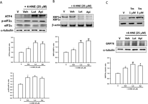 Luteolin and apigenin enhance 4-HNE-mediated unfolded protein response.(A) Western blot analysis of ATF4 and eIF2α phosphorylation in lysates obtained from PC12 cells incubated in the presence of vehicle only (V), or presence of 25 μM HNE plus vehicle (Veh), or co-treatment with 20 μM luteolin or apigenin for 2 h. (B) Effects of flavones on XBP1 splicing. PC12 cells were treated with luteolin and apigenin (20 μM) 30 min prior to 4-HNE (25 μM) treatment for 4 h at 37°. RNA was prepared and semi-quantitative RT-PCR was used for the analysis of mRNA levels of XBP1s and XBP1u, as described in Materials and Methods. (C) Western blot analysis of GRP78 in cell lysates prepared from PC12 cells, which were pretreated with luteolin or apigenin (20 μM) for 30 min followed by 4-HNE for 6 h. Immunoblots and polyacrylamide gels were then analyzed using Phoretix Gel Analysis Software as described under Materials and methods. Data represent the mean ± SD of three independent experiments. **, p<0.01 represents significant differences compared with vehicle control (without oxidant). ##, p<0.01 represents significant differences compared with the 4-HNE-treated vehicle group.