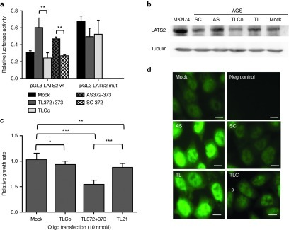 8-mer LNAs against miR-372 and miR-373 de-repress LATS2 and inhibit the growth of cultured AGS cells. (a) Relative luciferase activity (mean ± SD, n = 3) of the LATS2 reporter system pGL3-LATS2wt containing the wt LATS2 3'UTR, or of the mutated LATS2 reporter system pGL3-LATS2mut, compared to that of the control vector pGL3. The vectors have been cotransfected with pRL-SV40 and 10 nmol/l of the indicated oligonucleotides using lipofectamin, and their expression was analyzed 48 hours later. (b) Western blot analysis of LATS2 (upper panel) and α-tubulin (lower panel) protein expression in untreated MKN74 cells (positive control) or in AGS cells treated with an equimolar mix of either 22-mer anti-miR-372+miR-373 antisenses (AS) or their scrambled sequence (SC), or with 8-mer LNA against miR-372 and miR-373 (TL) or their negative control (TLCo). (c) Relative growth rate (mean ± SD, n = 6) of tiny LNA-transfected cultured AGS cells between day 2 and day 5 post-treatment, compared to TLCo-treated cells. (d) LATS2 immunofluorescent staining in AGS cells in the same conditions than in (b); scale bars, 10 μm.