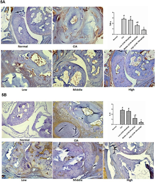 Chebulanin treatment decreased the expression of inflammatory cytokines in CIA mice.A: Immunohistochemistry analysis of TNF-α expression in the hind paws of mice and semi-quantitative analysis of staining score. B: Immunohistochemistry analysis of IL-6 expression in the hind paws and semi-quantitative analysis of staining score. All photomicrographs were obtained at 40x magnification and data are expressed as mean ± standard deviation (n = 6). *p <0.05 vs. untreated CIA mice, #p <0.05 vs. normal mice.