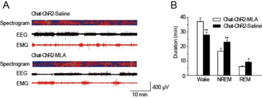 MLA decreased spontaneous sleep in the daytime.(A) EEG and EMG trace during 1 hr in the daytime of Chat-ChR2-Saline and Chat-ChR2-MLA mice. (B) Time spent in the wake, NREM and REM stages for Chat-ChR2-Saline and Chat-ChR2-MLA mice. In vivo injection of MLA could decrease spontaneous activity. All data represent mean ± SEM (n = 6 mice, *p < 0.05, **p < 0.01, two-tailed t-test between ChAT-ChR2-MLA and ChAT-ChR2-Saline mice).DOI:http://dx.doi.org/10.7554/eLife.10382.011