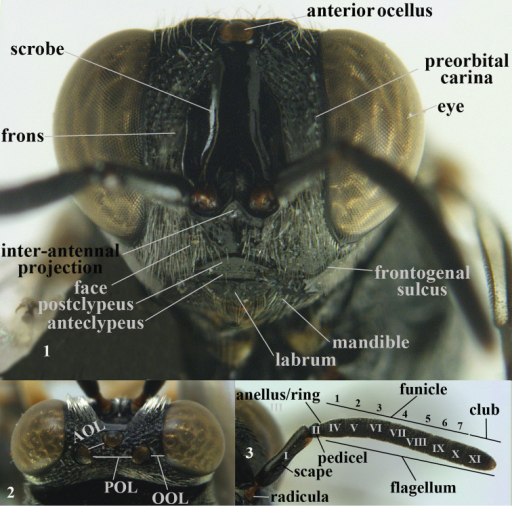 nomenclature of head (anterior, dorsal) and antenna, Brachymerialasus Walker, female, Vietnam. In Roman ciphers the antennal segments and in Arabic ciphers the funicular segments.