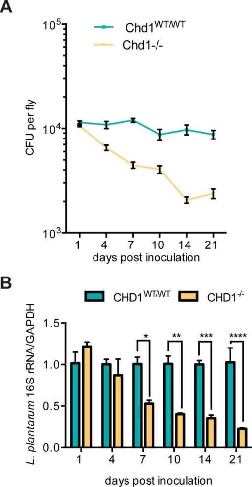 Time-dependent decrease in supplemented L. plantarum in Chd1-/- but not Chd1WT/WT flies.Flies were fed on L. plantarum overnight, transferred to fresh food vials and collected at the indicated days after inoculation. (A) Lactobacillus load was determined by plating fly homogenates on MRS agar; (B) L. plantarum was detected by real-time PCR. Signals were normalized against the Drosophila GAPDH gene and mean values ±SEM of three biological replicates are shown. Significant differences between the two fly lines were analyzed by t-test (level of significance set to p<0.05) and are marked by (*).