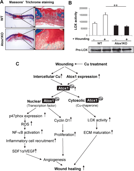 Atox1 is required for ECM maturation and Cu enzyme LOX activation.(A,B) Masson's Trichrome staining, scale bars = 500 μm (A) and LOX activity (B) in wound tissues at day 7 after wounding in WT and Atox1−/− mice. In (A) boxed regions are shown at higher magnification to the right, scale bars = 100 μm. Blue color indicates the collagen deposition; light red or pink for keratin, muscle or cytoplasm; and dark brown or black for cell nuclei. W: wound area; WE: wound edge In (B) a graph represents mean ± SE for LOX activity and a western blot represents Pro-LOX protein expression in wound tissues at days 0 and 7 (n = 3. **p < 0.01 vs. WT). (C) Schematic diagram showing the essential role of Cu-dependent transcription factor and Cu chaperone function of Atox1 in Cu-dependent wound healing.
