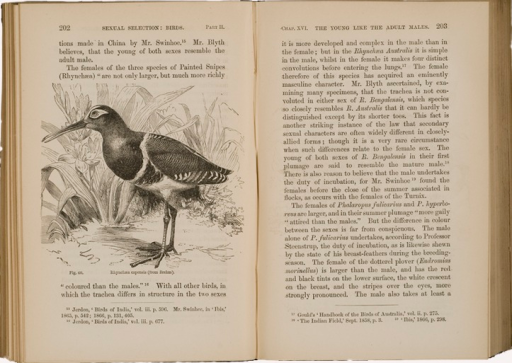 <p>Image of facing pages (p. 202-203) from The descent of man, and selection in relation to sex / by Charles Darwin. London : John Murray, 1871. Page 202 has illustration of Rhynchaea capensis (from Brehm). Page 203 is text.</p>
