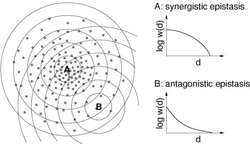 Relationship between the distribution of high-fitness sequences and directional epistasis, according to Wilke and Adami [11]. The drawing on the left visualizes genotype space, with the small filled circles representing high-fitness genotypes. A and B are two particular reference sequences, and the concentric rings around A and B indicate the mutants that are a fixed Hamming distance away from either A or B. In the case of A, the average fitness w(d) of the sequences at Hamming distance d from A decays faster at higher d than at lower d, and therefore A shows synergistic epistasis. In the case of B, the decay of w(d) slows down as d increases, and hence B shows antagonistic epistasis.