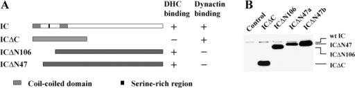 Structure and expression of dynein IC truncation mutants. (A) Diagram of predicted IC domain structure in relation to the IC truncations used in this study. ICΔC consists of amino acids 1–278 of the IC sequence. ICΔN106 deletes the NH2-terminal 106 amino acids, whereas ICΔN47 removes the NH2-terminal 47 amino acids. (B) IC truncation mutants are expressed at high levels in wild-type Dictyostelium. Whole cell lysates (2 × 105 cells) were separated on a 7.5% SDS-PAGE gel and the blot probed with IC144 antibody. Control was wild-type cells transformed with pVEII vector alone. ICΔN47a and ICΔN47b are two independent cell lines that differ in their mutant protein expression level. The lower level of ICΔN47 expression in ICΔN74a allows visualization of both endogenous and mutant IC.