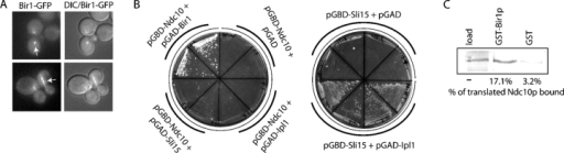 Bir1p localizes to interpolar microtubules and interacts with Ndc10p. (A) Bir1-GFP was imaged in premetaphase cells (top, arrow) and in anaphase cells (bottom, arrow); fluorescence and DIC images were recorded. (B) The indicated bait and prey yeast two-hybrid vectors were plated on HIS selection; growth indicates an interaction. (C) Ndc10p was translated in vitro in the presence of 35S-methionine. The translated protein was incubated with GST-Bir1p or GST and the fraction of the Ndc10p bound to the beads was calculated.