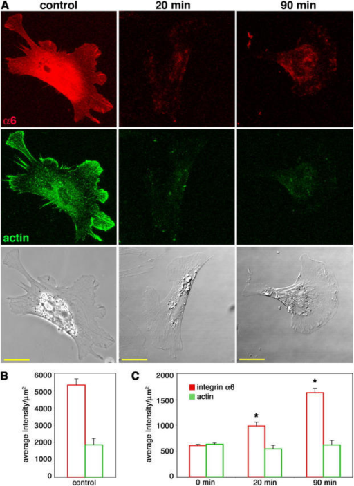 Cranial NCCs recycle internalized integrin α6 back to the cell surface. Cells cultured on high laminin concentrations were allowed to internalize anti-integrin α6 Fab bound to surface receptors for 30 min. The remaining cell surface Fab was blocked and cells were reincubated at 37°C for 20 or 90 min to allow for exocytosis of the integrin α6–Fab complex. (A) Recycled integrin α6 was detected by labeling the unblocked Fab that had reappeared on the surface (red). Cells were also stained for actin (green) as a permeabilization control. Control cells were intentionally permeabilized to show total integrin α6 and actin staining. Bars, 20 μm. (B and C) Average intensities per unit area + SEM (arbitrary units) of integrin α6 and actin fluorescence were determined for at least 20 cells from three independent experiments for each condition. (B) Measurements from permeabilized control cells, as shown in the first column in A, have significantly higher integrin α6 and actin fluorescence than unpermeabilized 0-min controls, as shown in C (P < 0.001; t test). (C) In unpermeabilized cells, actin fluorescence is constant, whereas integrin α6 fluorescence increases at both 20 and 90 min. Asterisk indicates significant difference from 0-min levels (P < 0.0001; t test).