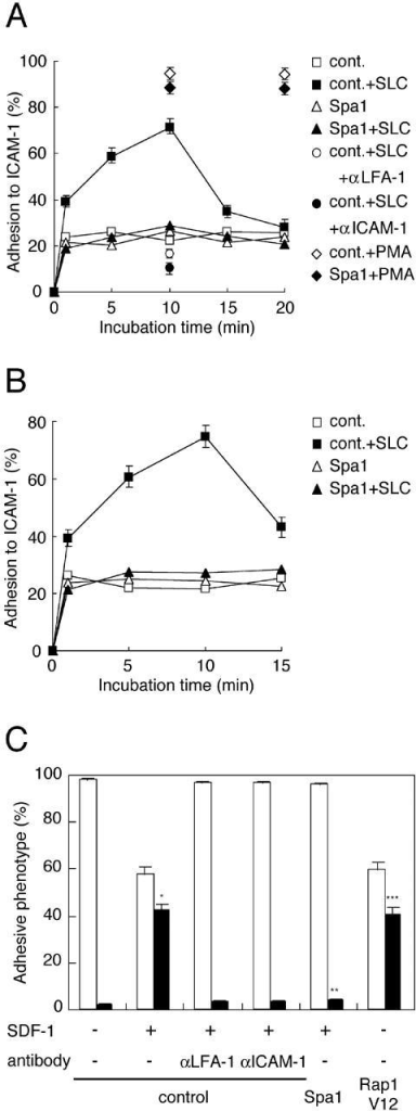 "Lymphocyte adhesion under shear stress. (A) SLC-stimulated adhesion to immobilized ICAM-1. Lymphocytes infected with the control or Spa1-encoding adenovirus were incubated in the absence or presence of either 100nM SLC or 10 ng/ml PMA, at 37°C for the indicated time on ICAM-1, and then washed with shear stress at 2 dyne/cm2 for 1 min. Attachment of SLC-stimulated control cells treated with anti-LFA-1 or anti-ICAM-1 antibody is also indicated at the 10-min time point. Quantitated numbers of GFP-positive attached cells were counted and expressed as a percentage of the input GFP-positive cells. PMA-stimulated attachment is indicated for the 10- and 20-min time points. The data are representative of three independent experiments. (B) Spa-1–inhibited lymphocyte adhesion triggered by immobilized SLC. ICAM-1–coated disks were pretreated with 100 nM SLC. Unbound SLC was removed by washing. Lymphocytes infected with either the control or Spa1 adenovirus were incubated on uncoated or SLC-coated ICAM-1 discs at 37°C for the indicated time and then washed with shear stress at 2 dyne/cm2 for 1 min. GFP-positive attached cells were counted and expressed as a percentage of the input GFP-positive cells. The data are representative of three independent experiments. (C) Attachment of lymphocytes to endothelial cells under flow. Lymphocytes infected with adenoviruses encoding GFP alone (control), Spa1, or Rap1V12 adenovirus were perfused over a BC1 endothelial monolayer overlaid with 100 nM SDF-1 under shear stress (0.1 dyne/cm2) for 10 min. The effect of antibody blocking of LFA-1 or ICAM-1 was shown for lymphocytes infected with the control adenovirus. Lymphocytes that rolled away or attached throughout the shear stress phase were considered as ""roll-away"" (open bar) and ""firm attachment"" (closed bar), respectively. These categories were expressed as a percentage of total interacting cells, including rolling, transiently attached, and firmly attached cells. Adenovirus-infected cells, suspended at 2 × 106/ml were perfused into the flow chamber. Approximately 60–70 GFP-positive cells were captured by the BC1 monolayer during a 10-min perfusion (per high power field, 440 × 440 μm, magnification 20). Data means and SE were determined from four independent experiments with SE. Statistical significance was determined by t test. *, P < 0.002, compared with unstimulated lymphocytes. **, P < 0.002, compared with SLC-stimulated control adenoviruses-infected lymphocytes. ***, P < 0.003, compared with unstimulated control lymphocytes."