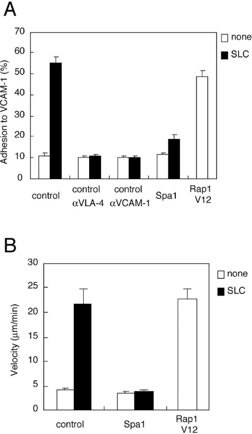 Cell adhesion and migration on VCAM-1. (A) SLC-stimulated adhesion to immobilized VCAM-1–Fc. Lymphocytes infected with the control, Spa1-, and Rap1V12-encoding adenovirus were incubated in the absence or presence of 100 nM SLC at 37°C for 10 min on VCAM-1, and then washed with shear stress at 2 dyne/cm2 for 1 min. Attachment of SLC-stimulated control cells treated with anti-VLA-4 or anti-VCAM-1 antibody is also indicated. The numbers of GFP-positive attached cells were counted and expressed as a percentage of the input GFP-positive cells. The mean and SE of triplicate determinations are shown. (B) Migration velocity of T cells on immobilized VCAM-1–Fc. Migration velocity of T cells infected with control or Spa-1 adenovirus stimulated with or without 100 nM SLC and Rap1V12-expressing T cells are shown. The mean velocity of GFP-positive cells (n = 20) was calculated and indicated with SE.