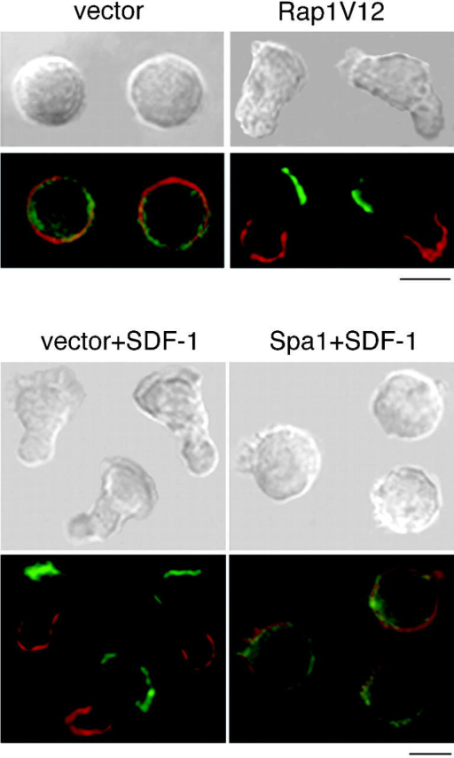 Polarized morphology and membrane protein redistribution induced by SDF-1 and Rap1V12. Rap1V12- or Spa-1–expressing BAF/LFA-1 cells stimulated with or without 100 nM SDF-1 for 10 min, as indicated, were fixed in suspension and stained for CXCR4 (green) and CD44 (red), as described in Materials and methods. Bars, 10 μm.