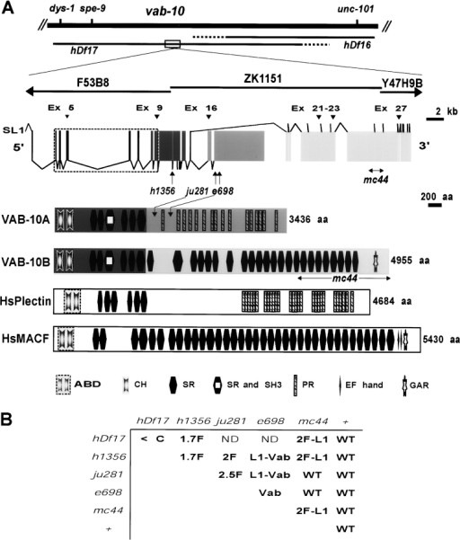 vab-10 encodes two distinct plakins. (A) The first two lines represent the chromosomal region where vab-10 maps and shows the approximate (dotted areas) endpoints of the deficiencies hDf17 and hDf16 used to refine vab-10 position. vab-10 spreads over two overlapping cosmids (F53B8 and ZK1151) and a yeast artificial chromosome (Y47H9B). The first 15 exons (dark gray boxes, corresponding to a predicted gene known as ZK1151.1) are common to vab-10A and vab-10B isoforms; exons 16–17 (medium gray boxes, corresponding to a predicted gene known as ZK1151.3) are unique to vab-10A isoforms, exons 18–32 (light gray boxes, corresponding to a predicted gene known as ZK1151.2) are unique to vab-10B isoforms. Numbered exons (arrowheads) can be alternatively spliced (see Fig. S1). Arrows mark the positions of vab-10 mutations as follows: h1356 is a G to A transition in the GT consensus donor splice site of intron 10, leading to a premature stop codon downstream; ju281 is a G to A transition (nucleotide 20242 of ZK1151) changing the Gly1560 of the longest VAB-10A isoform into a Glu; e698 is a G to A transition (nucleotide 19925 of ZK1151) changing the Pro1666 of the longest VAB-10A isoform into a Ser; mc44 is a 1033-nucleotide deletion (spanning nucleotides 2636–1605 of ZK1151) truncating VAB-10B isoforms after residue 3515. Shown below are the functional domains predicted by the SMART program (http://smart.embl-heidelberg.de) in VAB-10A, VAB-10B, and the two most closely related vertebrate plakins. ABD, actin-binding domain (exons encoding the ABD are surrounded by a dotted box); CH, calponin homology; SH3, Src-homology domain 3; SR, spectrin repeat; PR, plectin repeat; GAR, growth-arrest protein 2-related homology; EF-hand, calcium-binding motif. (B) Complementation tests among vab-10 alleles bearing on at least 100 individuals of each genotype. Only the most common phenotypes are mentioned (<C, 1.7F, 2F, 2.5F: arrest at the comma, 1.7-fold, twofold, and 2.5-fold stages, respectively; L1: L1 arrest; Vab, variably abnormal; WT, wild-type; ND, not determined).