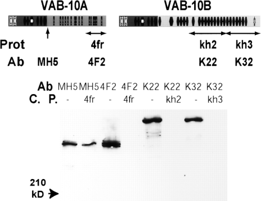 Characterization of four VAB-10–specific antibodies. (Top) Positions and names (Prot) of the peptides (horizontal double arrows; domain symbols are as in Fig. 2 A) used to raise antibodies (Ab), and of the epitope recognized by the mAb MH5 (vertical arrow). (Bottom) Western blots of total worm extracts probed with immunopurified antibodies (Ab) in the absence (−) or in the presence of a competing protein (C.P.). Competition with 4fr, kh2, and kh3 recombinant peptides were effective only with the cognate antibodies (e.g., 4fr did not compete interaction with mAb MH5).