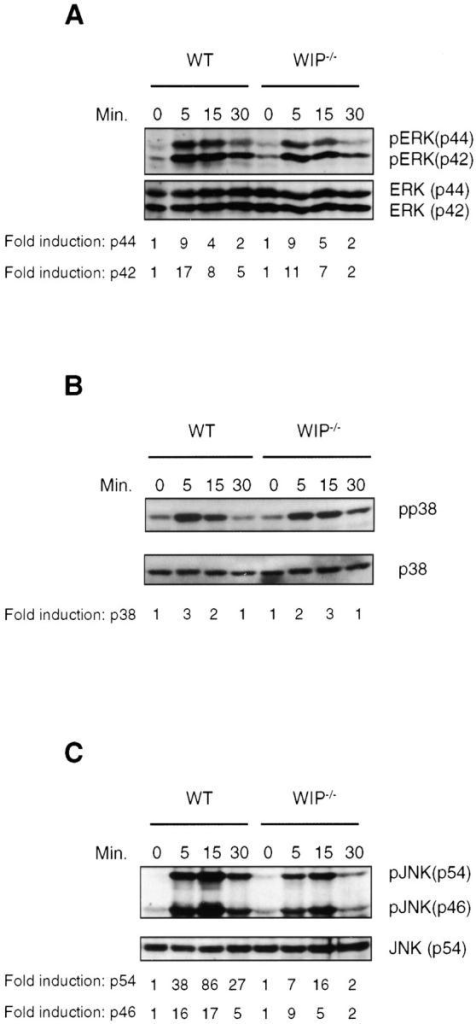 Activation of MAP kinases in response to FcεRI ligation. BMMCs were stimulated for the indicated times and lysed in SDS-PAGE sample buffer. Aliquots of the lysates were analyzed in parallel for phosphorylation of ERK1/2 (A), p38 (B), and SAPK/JNK (C) by Western blotting with the corresponding phospho-specific antibodies. Membranes were reprobed with kinase-specific antibodies to control for loading. Representative blots of three experiments are shown. Mean fold induction (n = 3) normalized to signal for loading was determined by densitometry.