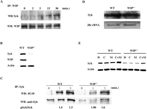 WIP associates with Syk after FcεRI ligation and protects it from degradation. (A) Association of WIP and Syk after FcεRI ligation. WIP immunoprecipitates from WT BMMCs were probed with Syk before and after FcεRI ligation. (B) Syk protein levels in Western blots from lysates of WT and WIP−/− BMMCs. (C) Syk phosphorylation after FcεRI ligation in WT and WIP−/− BMMCs. Syk immunoprecipitates were probed with antiphosphotyrosine mAb 4G10 and with anti-Syk as loading control. Numbers represent densitometric ratio of phopshoSyk to Syk bands. (D) Northern blot analysis of Syk mRNA in WT and WIP−/− BMMCs. 28S RNA is shown as loading control. (E) Effect of pretreatment with calpeptin and MG132 for 6 h on Syk levels in WT and WIP−/− BMMCs.