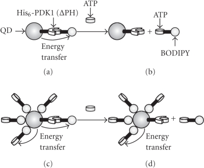 The supramolecular association ofBODIPY-ATP with His6-PDK1(ΔPH)-QD encourages thetransfer of energy from QD to BODIPY upon excitation (a). ATP displaces BODIPY-ATP from the recognitionsite of His6-PDK1(ΔPH)-QD and isexpected to prevent energy transfer (b).The nonspecific adsorption of BODIPY-ATP on thesurface of QD, however, can also encourage energy transfer (c). Under these conditions, the displacement ofBODIPY-ATP by ATP is notsufficient to prevent energy transfer.