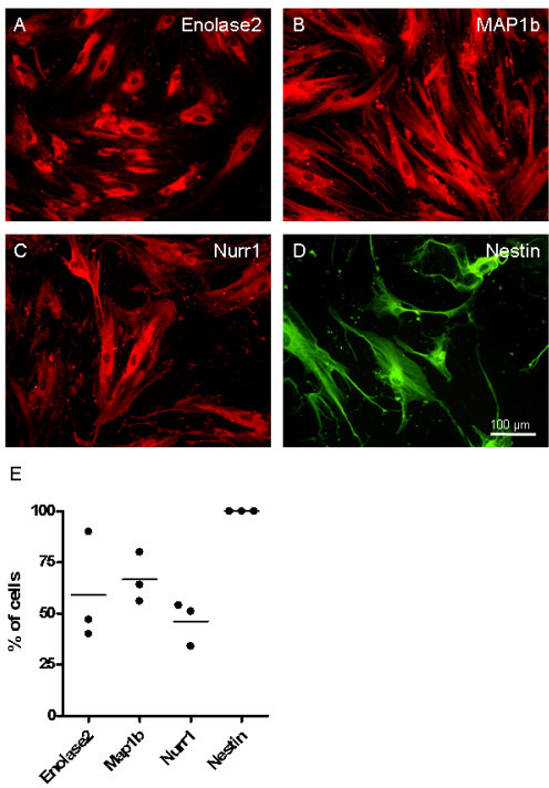 Expression of neural related proteins. Immunofluorescence for neural related proteins in undifferentiated hMSCs. (A) Enolase2, (B) MAP1b, (C) Nurr1 and (D) nestin. Staining revealed cytoplasmic distribution of Enolase2 and Nurr1, whereas the staining of MAP1b and nestin was cytoskeletal. Scale bar 100 μm. (E) Quantification of the percentage of stained cells from three different donors revealed following data: Enolase2 expression was found in 59% ± 27.1% of all cells, 66.7% ± 12.2% Map1b positive cells, and 46.3% ± 10.8% of the cells expressed Nurr1. Nestin expression was found to be present in all cells analyzed.