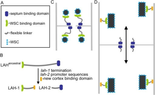 Model for the evolution of Woronin body tethering in the Pezizomycotina.(A) Legend indicates symbols used to depict domains of the Leashin tether. (B) The minimal events associated with splitting of the ancestral leashin locus are indicated. (C) Model for septal pore associated WB-tethering in most of the Pezizomycotina. (D) Model of WB tethering in Neurospora and Sordaria. The double-headed arrow indicates extensive protoplasmic streaming that can be observed in Neurospora and Sordaria (See Video S1).